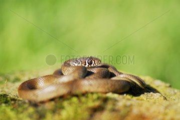 Western whip Snake on a rock under the sun France