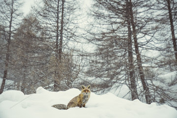 Red fox (Vulpes vulpes) sitting in the snow  Valsavarenche  Aosta Valley  Alps  Italy