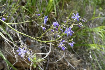 Azulillo (Pasithea coerulea)  Asphodelaceae endemic to Chile and Peru  Parque nacional La Campana  V Region of Valparaiso  Chile