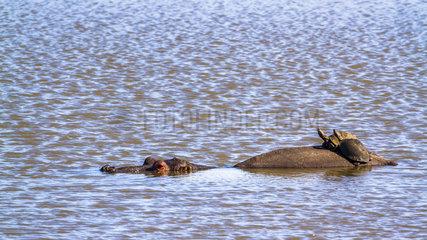 Hippopotamus (Hippopotamus amphibius) and Angulate tortoise (Chersina angulata) in Kruger National park  South Africa