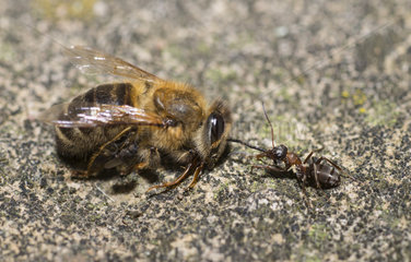 Ant drawing a dead bee (Apis mellifera)  Regional Natural Park of Northern Vosges  France