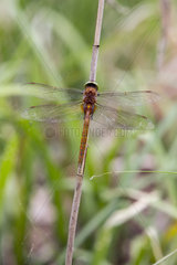 Norfolk Hawker (Aeshna isoceles) on a reed steam in spring  forest pond  massif de la Reine  Lorraine  France