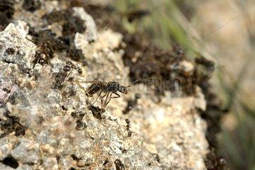 Swarming of Harvester Ants at spring France