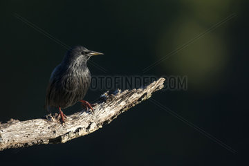 Spotless starling (Sturnus unicolor) on a branch  Cordoba  Andalucia  Spain