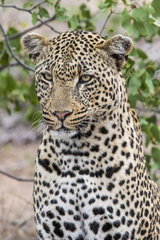 Leopard (Panthera pardus)  male  Motswari private reserve  South Africa