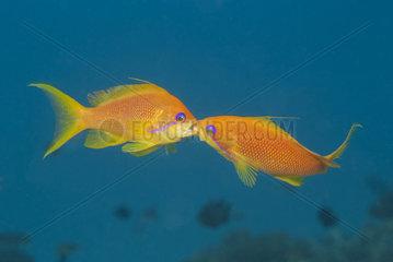 Fighting Anthias (Anthias sp) Females  Fight for Dominant  Mauritius