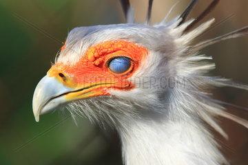 Portrait de Secretarybird (Sagittarius serpentarius)  Nictitating membrane closed