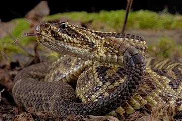 Portrait of Cascabel Rattlesnake (Crotalus durissus terrificus)