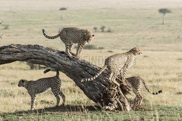 Cheetah (Acinonyx jubatus)  an association of 5 males marking their territory  Masai-Mara National Reserve  Kenya