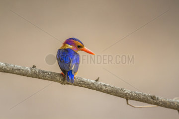 African Pygmy Kingfisher (Ispidina picta) in Kruger National park  South Africa