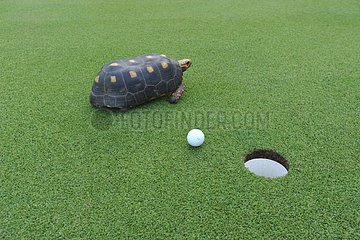 Red-Footed tortoise on the golf at Canouan Island