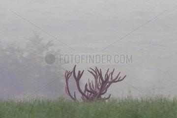 Red Deer (Cervus elaphus) antlers  Ardennes  Belgium