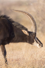 Sable antelope (Hippotragus niger)  adult male  Kalahari Desert  South African Republic