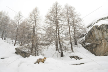 Red fox (Vulpes vulpes) in the snow  Valsavarenche  Aosta Valley  Alps  Italy