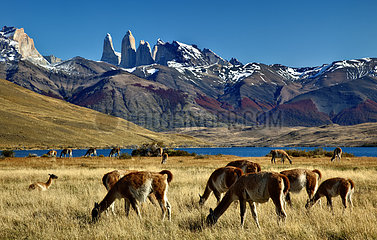 Guanaco (Lama guanicoe) in front of the Cuernos Massif  Torres del Pain National Park  Patagonia  Chile