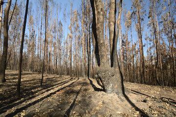 Burning eucalyptus forest  Chile  near Vichuquen  VII Region del Maule  Chile