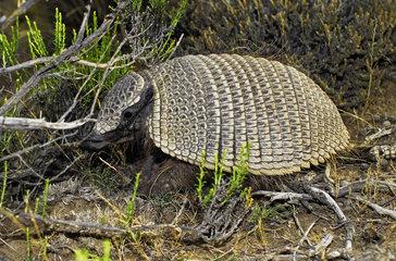 Big hairy armadillo or Large hairy armadillo (Chaetophractus villosus). Península Valdes  Argentine Patagonia.