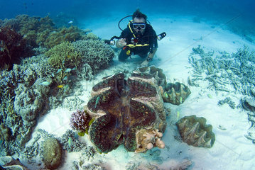 Diver and Giant Clams (Tridacnidae sp)  Australia  South Pacific.