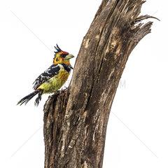 Crested Barbet (Trachyphonus vaillantii) on a trunk in Kruger National park  South Africa