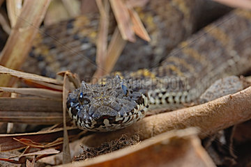 Rough-scaled death adder (Acanthophis rugosus) on leaves