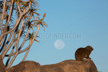 Rock Dassie (Procavia capensis) under the moon and quiver tree  Namibia