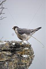 Peregrine Falcon female defecating Lot France
