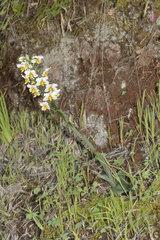 Gavilea longibracteata  Orchidaceae endemic to Chile  Parque nacional La Campana  V Region of Valparaiso  Chile