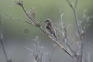 Common Linnet (Linaria cannabina) female collecting materials for nesting  Portugal