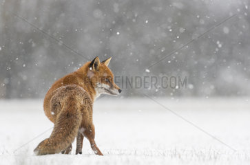 Red fox (Vulpes vulpes) walking in a snow covered meadow  England