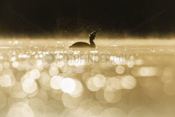 Great Crested Grebe (Podiceps cristatus) snorting on water at sunrise  Dombes  France