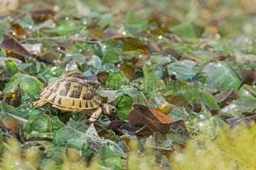 Eastern Hermann's Tortoise(Testudo hermanni boettgeri)  Macin  Romania