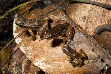 Edwards' Rocket Frogs on dead leaf French Guiana