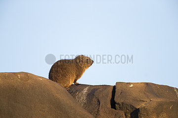 Rock hyrax (Procavia capensis)  also called rock badger and Cape hyrax  Upper Karoo  South Africa