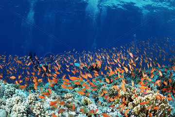 Sea goldie (Pseudanthias squamipinnis) above reef and divers  Elphinstone  Egypte  Red Sea