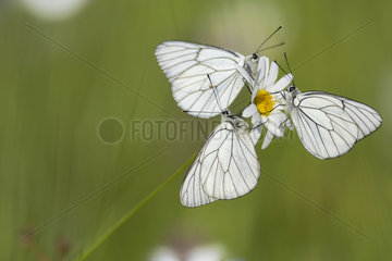 Black-veined whites (Aporia crataegi) on a flower of daisy in a wet meadow in spring  Auvergne  France