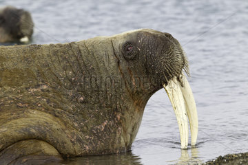 Portrait of Atlantic walrus (Odobenus rosmarus) with its most prominent feature the long tusks  Spitsbergen  Svalbard  Norwegian archipelago  Norway  Arctic Ocean