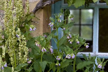 Garden Sorrel and Comfrey in front of a window Bourgogne