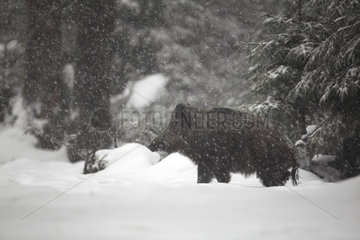 Wild boar (Sus scrofa) under snow  Ardennes  Belgium