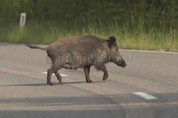 Wild boar (Sus scrofa) sow crossing a road  Ardennes  Belgium