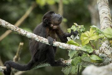 Mantled Howler monkey (Alouatta palliata)  showing infestation by a Botfly (Cuterebra baeri)  Gamboa  Panama  November