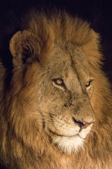 Lion (Panthera leo)  male night portrait  Sabi Sands private reserve  South Africa