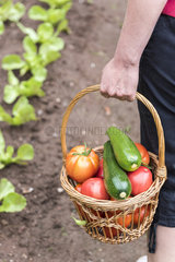 Harvest of Tomatoes 'Coeur de Boeuf' and Zucchinies in a kitchen garden
