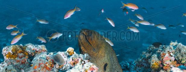 Wide view Giant Moray (Gymnothorax javanicus)  Tahiti  French Polynesia