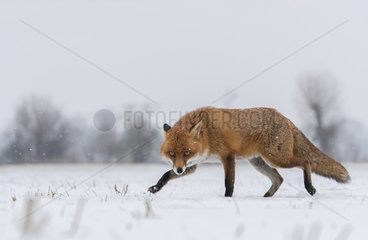 Red fox (Vulpes vulpes) waliking in a snow covered meadow  Englalnd