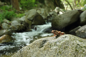 Greek frog (Rana graeca) on stream bank  Bulgaria