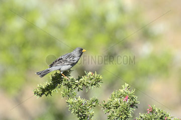 Mourning Sierra Finch (Phrygilus fruticeti) male on a branch  surroundings Socos  Ovalle  IV Region of Coquimbo  Chile