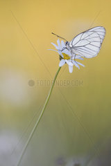 Black-veined white (Aporia crataegi) on a flower of daisy in a wet meadow in spring  Auvergne  France