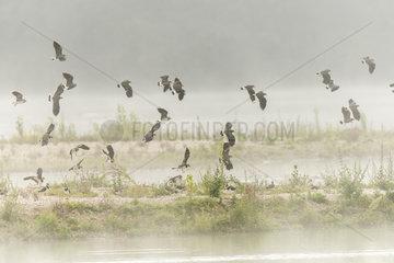 Northern Lapwing (Vanellus vanellus) in flight in the mist in summer  Bas Rebourseaux  Burgundy  France