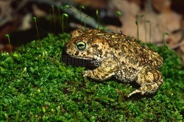 Natterjack Toad on Moss in the woods Catalan Pyrenees