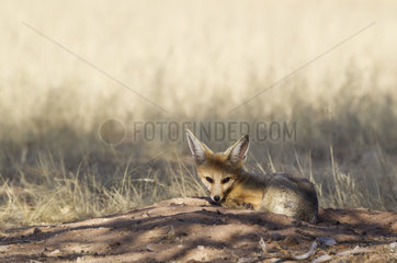 Cape Fox (Vulpes chama). Resting at its burrow. Kalahari Desert  Kgalagadi Transfrontier Park  South Africa.